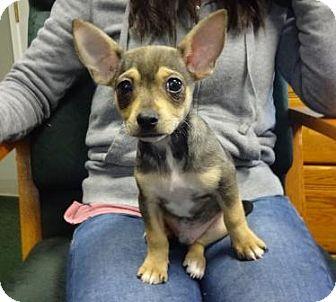 Dachshund/Chihuahua Mix Puppy for adoption in Lathrop, California - Ralphie
