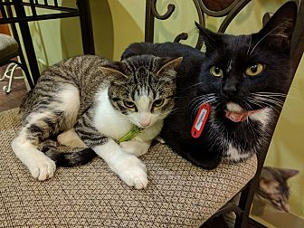 Domestic Shorthair Cat for adoption in The Colony, Texas - Matushka