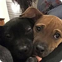 Adopt A Pet :: Leia - bridgeport, CT