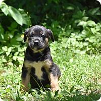 Adopt A Pet :: GANDY - South Dennis, MA