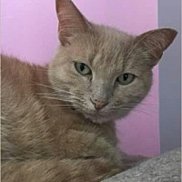 Domestic Mediumhair Cat for adoption in Lake In The Hills, Illinois - Ma Ma