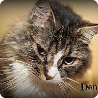 Domestic Longhair Cat for adoption in Springfield, Pennsylvania - Denali