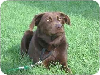 Labrador Retriever/Border Collie Mix Dog for adoption in Vinton, Iowa - Toostie