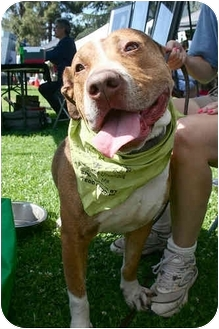 American Staffordshire Terrier Mix Dog for adoption in Los Angeles, California - Pirate