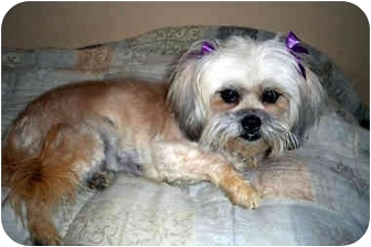 Shih Tzu/Lhasa Apso Mix Dog for adoption in Los Angeles, California - FELICITY