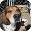 Photo 3 - Bluetick Coonhound/Treeing Walker Coonhound Mix Dog for adoption in Hayden, Idaho - Dan