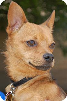 Chihuahua/Fox Terrier (Wirehaired) Mix Dog for adoption in Lexington, Kentucky - Ian