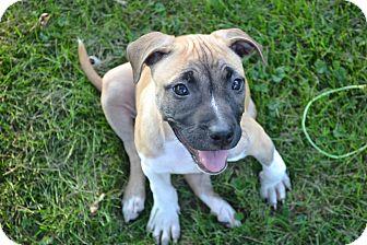 Boxer/Pit Bull Terrier Mix Puppy for adoption in Davison, Michigan - Sugar