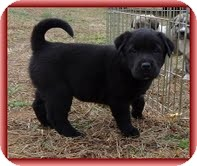 Labrador Retriever/Bearded Collie Mix Puppy for adoption in Allentown, Pennsylvania - Lassie Bear
