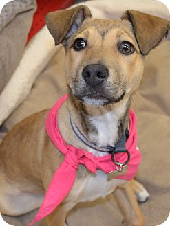 Shepherd (Unknown Type) Mix Puppy for adoption in Detroit, Michigan - Farah-Adopted!