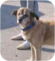 Shepherd (Unknown Type)/Labrador Retriever Mix Dog for adoption in Long Beach, New York - AJ