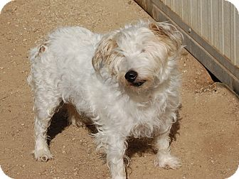 Westie, West Highland White Terrier Dog for adoption in Creston, California - Sandy Acres/Trufitt