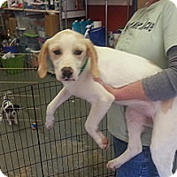 Adopt A Pet :: Strawberry - Philadelphia, PA