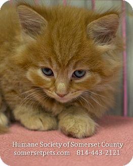 Domestic Shorthair Kitten for adoption in Somerset, Pennsylvania - Felix