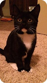 Domestic Shorthair Kitten for adoption in Flower Mound, Texas - Luna