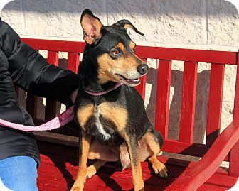 Manchester Terrier/Terrier (Unknown Type, Medium) Mix Dog for adoption in Manahawkin, New Jersey - Rusty