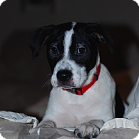 Adopt A Pet :: Domino - Randolph, NJ