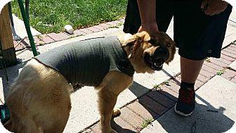 Golden Retriever/Chow Chow Mix Dog for adoption in Manhasset, New York - Diago