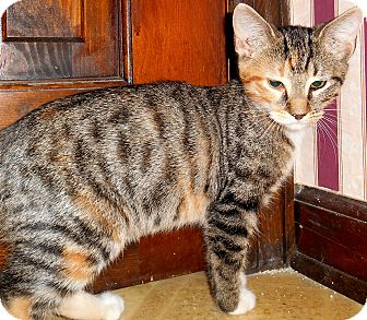 Domestic Shorthair Kitten for adoption in Chattanooga, Tennessee - Queen
