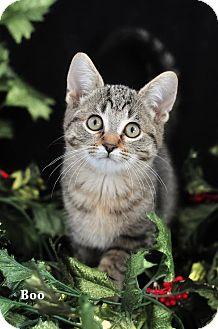 Domestic Shorthair Kitten for adoption in Ortonville, Michigan - Boo