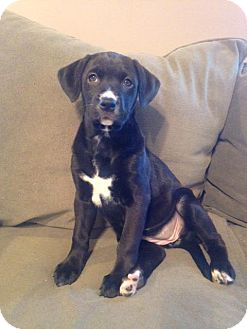Labrador Retriever Mix Puppy for adoption in Harrisburg, North Carolina - Kora