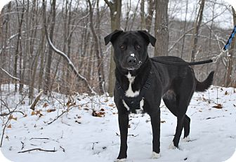 Retriever (Unknown Type)/Border Collie Mix Dog for adoption in New Castle, Pennsylvania - Socks