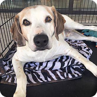 Hound (Unknown Type) Mix Dog for adoption in Wilmington, North Carolina - Fletcher