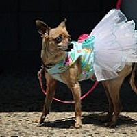 Chihuahua Mix Dog for adoption in Fountain Valley, California - Charlee