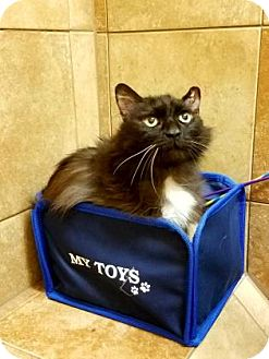Domestic Mediumhair Cat for adoption in Parma, Ohio - Elon