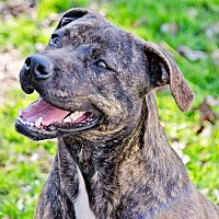Mountain Cur Dog for adoption in Williston Park, New York - Lucy