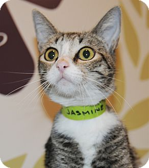 Domestic Shorthair Cat for adoption in Agoura Hills, California - Jasmine
