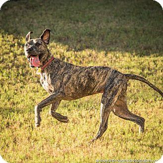 Great Dane/Hound (Unknown Type) Mix Dog for adoption in Athens, Georgia - Carmen
