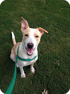 Beagle/Labrador Retriever Mix Dog for adoption in Rockmart, Georgia - Willow