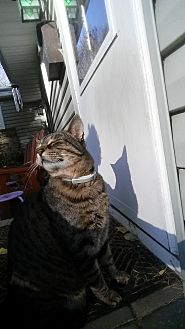 American Shorthair Cat for adoption in Marcellus, New York - Milo