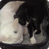 Adopt A Pet :: Yin - Naugatuck, CT