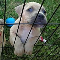 Adopt A Pet :: Harlow (adoption pending) - Belleville, MI