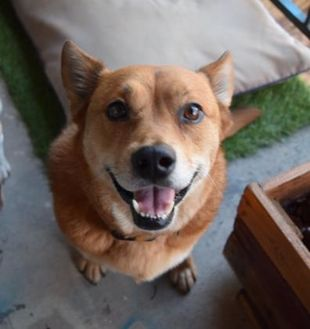 Shepherd (Unknown Type) Mix Dog for adoption in Dallas, Texas - zzWinslow