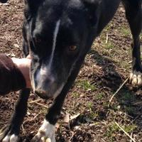 Australian Cattle Dog Mix Dog for adoption in Tahlequah, Oklahoma - Precious
