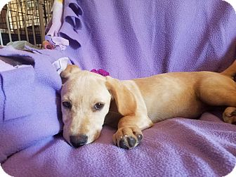 Labrador Retriever Mix Puppy for adoption in Southington, Connecticut - Sienna (has been adopted)