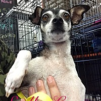 Miniature Pinscher/Rat Terrier Mix Dog for adoption in Cerritos, California - Mali
