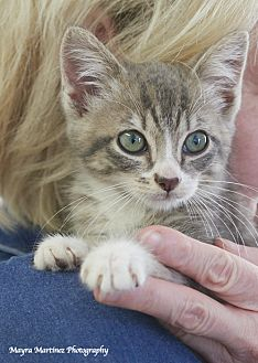 Domestic Shorthair Kitten for adoption in Homewood, Alabama - Izzy