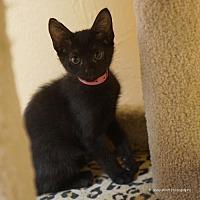 Domestic Shorthair Cat for adoption in Tucson, Arizona - Jamaica