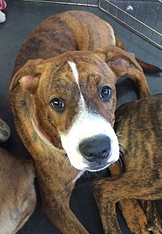 Boxer/Shepherd (Unknown Type) Mix Puppy for adoption in Chandler, Arizona - Butterscotch