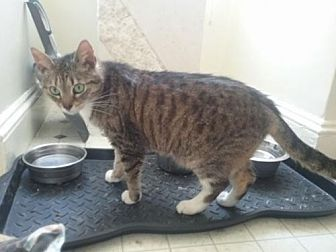 Domestic Shorthair Cat for adoption in Owings Mills, Maryland - Muffy