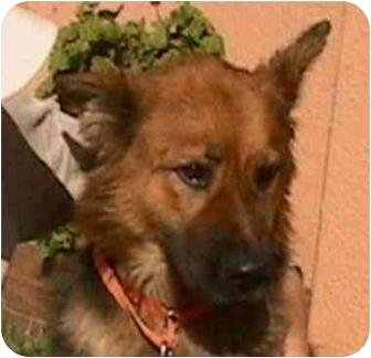 German Shepherd Dog Mix Dog for adoption in Berkeley, California - Bette