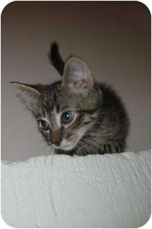 Domestic Shorthair Kitten for adoption in Worcester, Massachusetts - Checkers