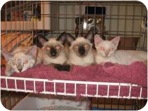 Siamese Cat for adoption in Ft. Lauderdale, Florida - Cleopatra