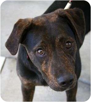 Pit Bull Terrier/Shepherd (Unknown Type) Mix Puppy for adoption in Phoenix, Oregon - Bruce