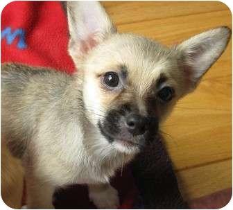 Corgi/Chihuahua Mix Puppy for adoption in Santa Ana, California - Minnie