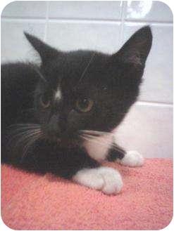 Domestic Shorthair Kitten for adoption in Lakeland, Florida - Salem